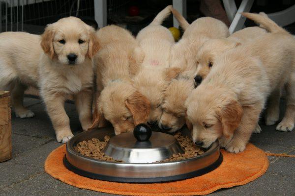 גולדנים אוכלים כמה פעמים ביום מאכילים כלב