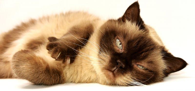 חתול עם נשירת פרווה