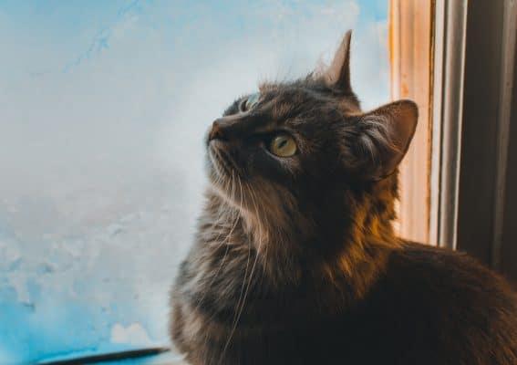 סוגים של חתולים