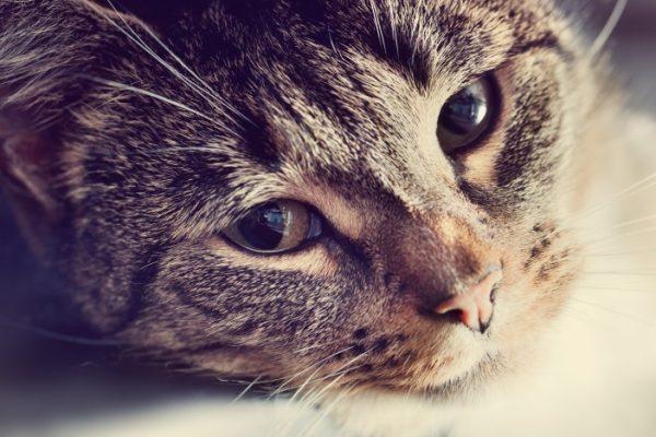 תמונה של חתול למאמר בנושא מה עושים עם חתולים כשנוסעים? מבית חנות חיות בראשון לציון גרגורים