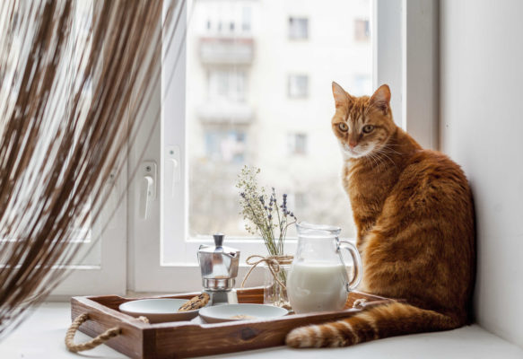 אוכל לחתולים בוגרים