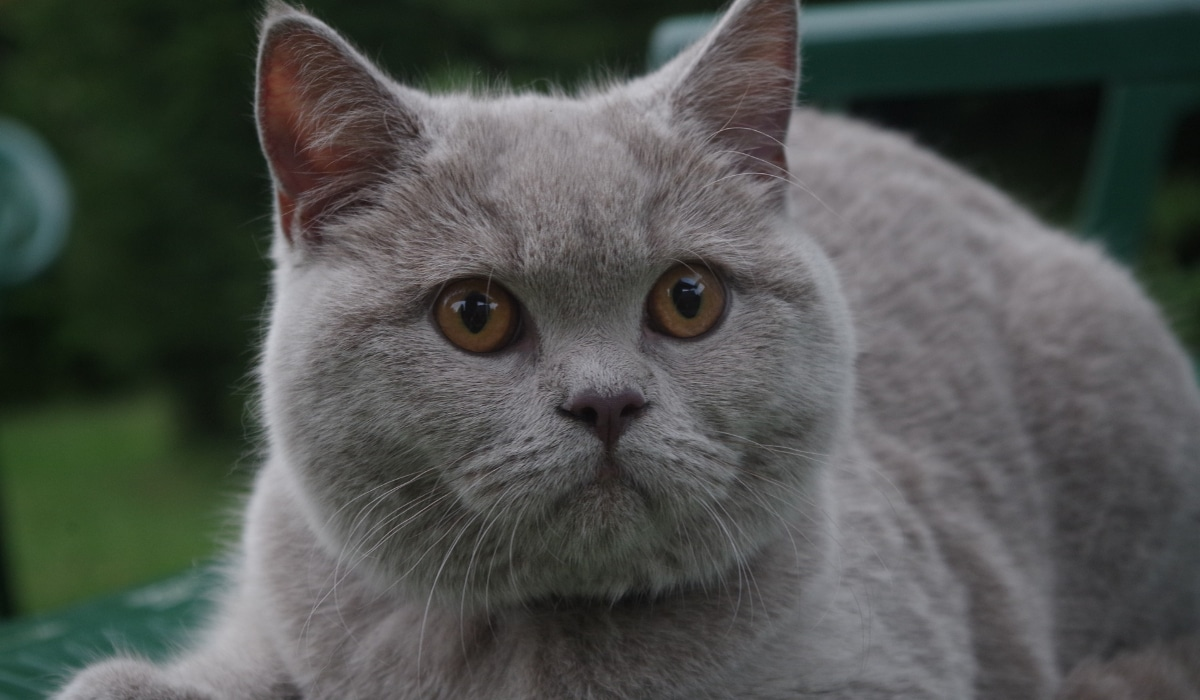 אוכל מומלץ לחתול בריטי קצר שיער
