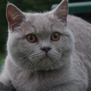 אוכל לחתול בריטי