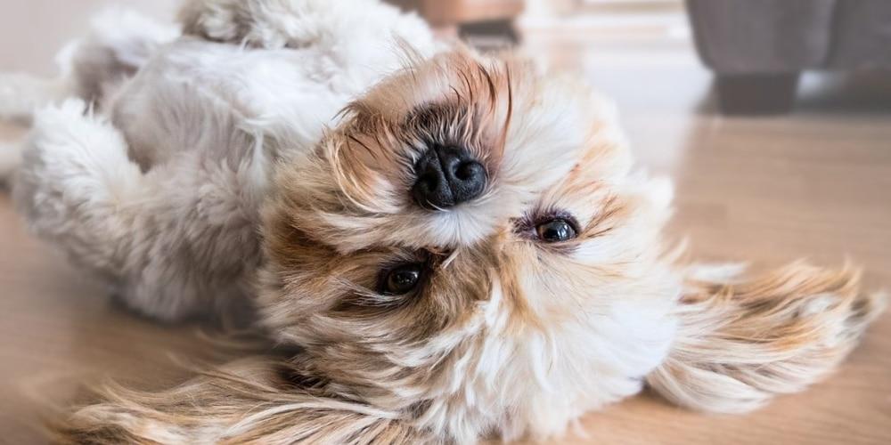 אוכל מומלץ לכלבי שיצו