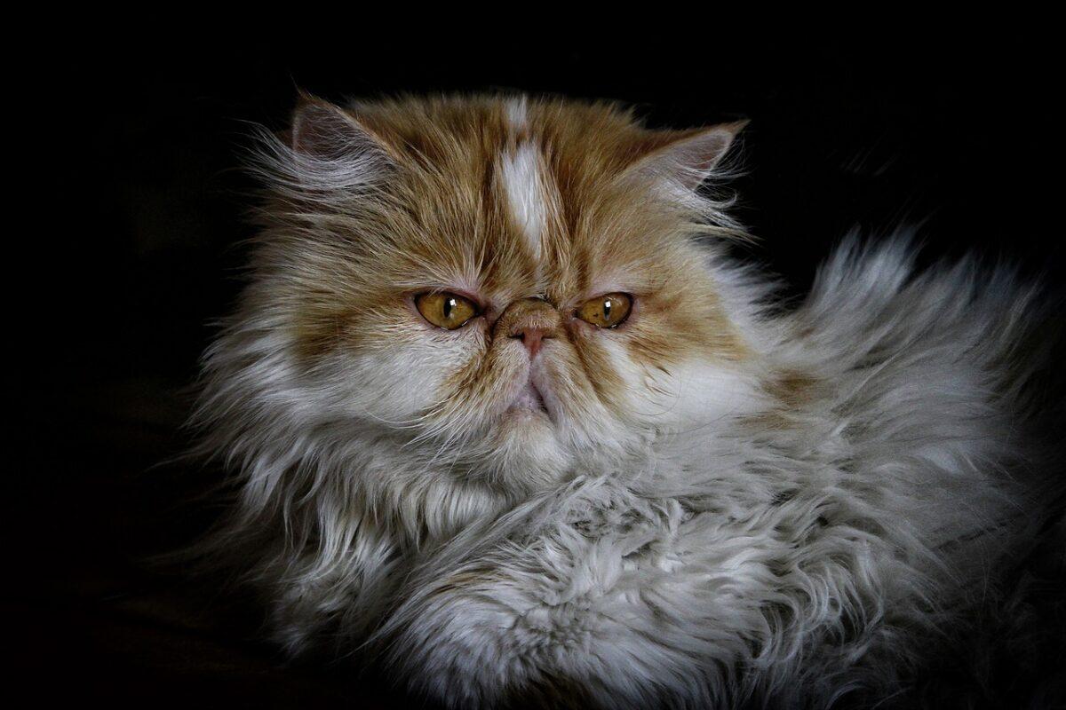 אוכל לחתול פרסי