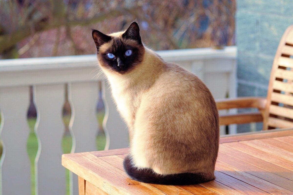אוכל לחתול סיאמי