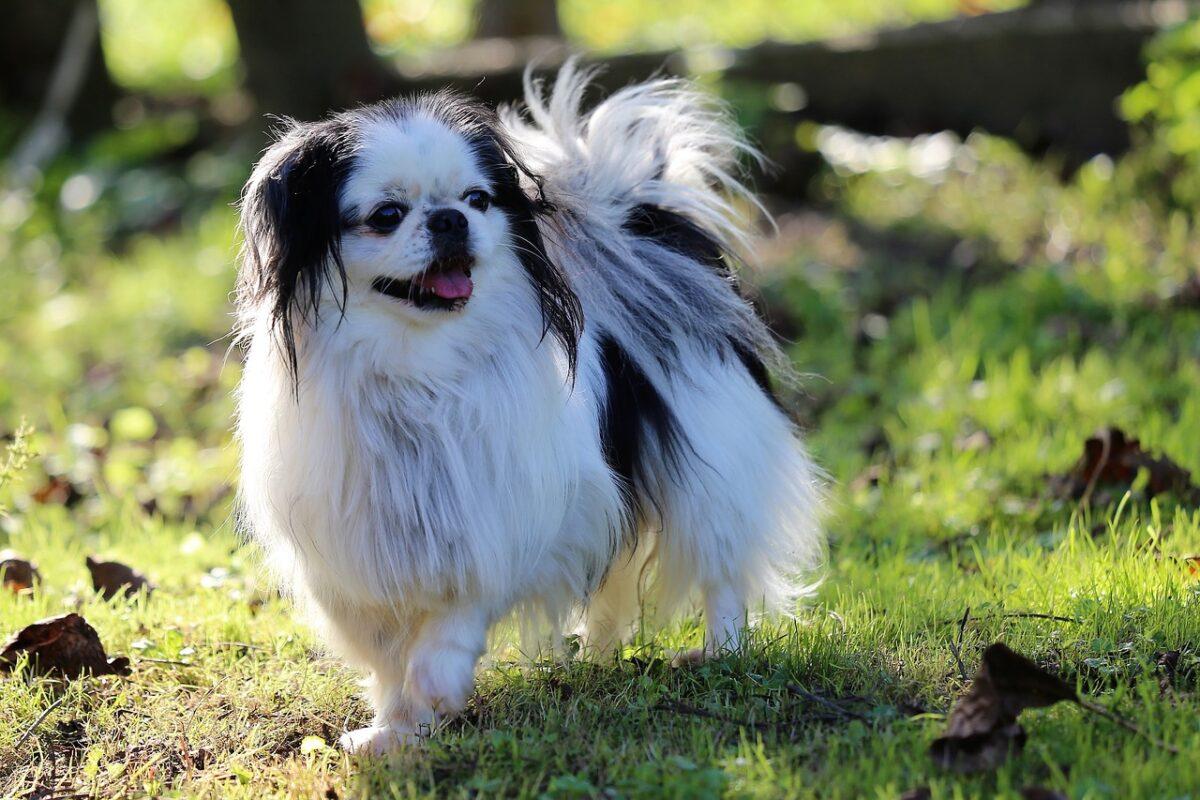 אוכל מומלץ לכלב צ'ין יפני