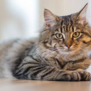 אוכל לחתול סיבירי